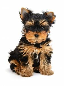 Teacup Yorkies The Complete Owners Guide