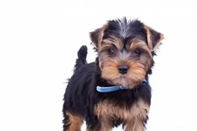 Toy yorkie adult 13