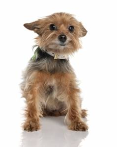 yorkshire terrier teacup puppy