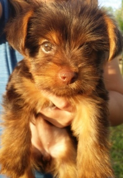 Teacup Yorkie Breeders in the USA