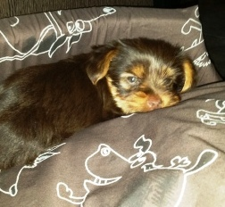 Teacup Yorkies For Sale - Cost and Prices