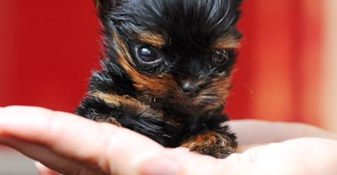 belle-teacup-yorkshire-terrier